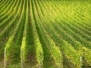 Vignoble vins d'Alsace