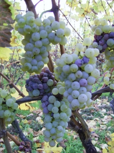 vendanges tardives grains nobles