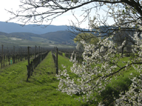 vignoble de Saint-Hippolyte